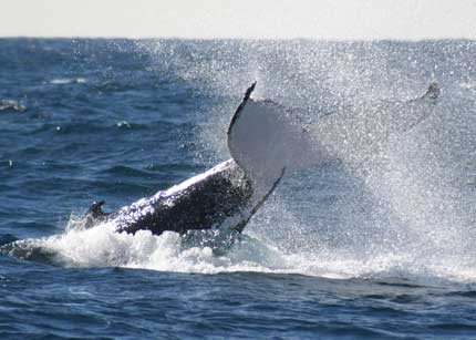 Whale Watching Sydney - Accommodation Cooktown