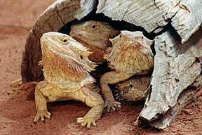 Alice Springs Reptile Centre - Accommodation Cooktown