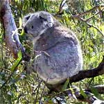Koala Conservation Centre - Accommodation Cooktown