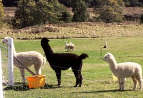 Maydena Country Cabins Accommodation  Alpaca Stud - Accommodation Cooktown