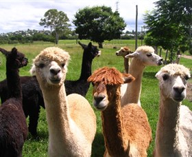 Banyandah Alpacas - Accommodation Cooktown