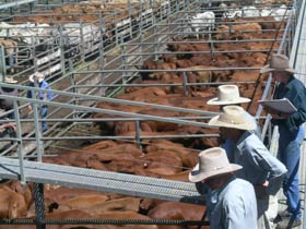 Dalrymple Sales Yards - Cattle Sales - Accommodation Cooktown