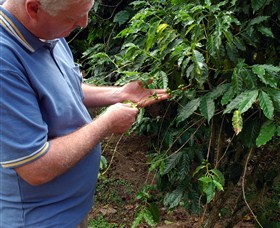 Wombah Coffee Plantation - Accommodation Cooktown