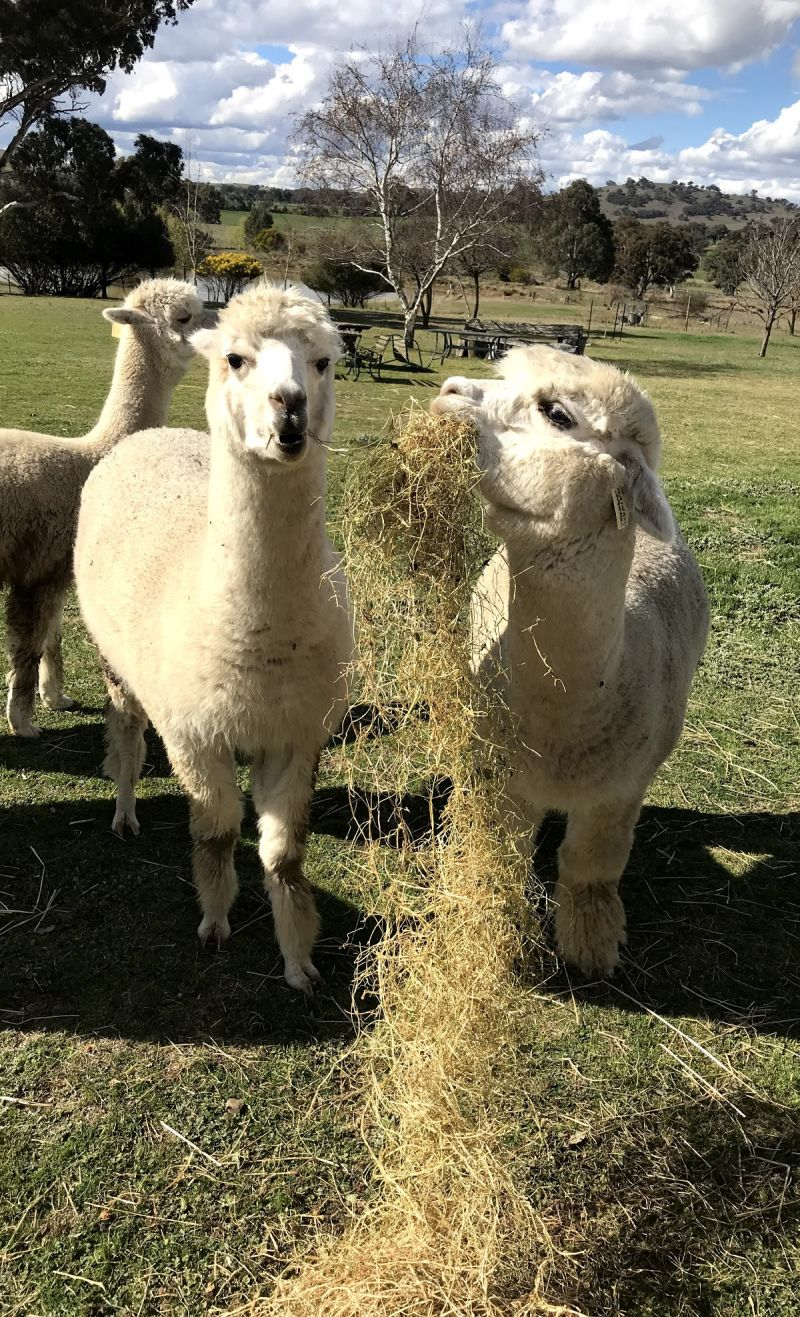 Clearview Alpacas - Accommodation Cooktown