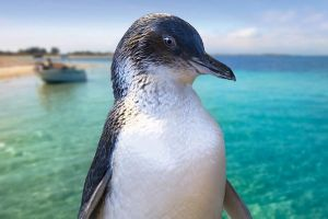 Full-Day Penguin Island  Fremantle Town - Accommodation Cooktown