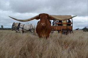 Texas Longhorn Tours - Accommodation Cooktown