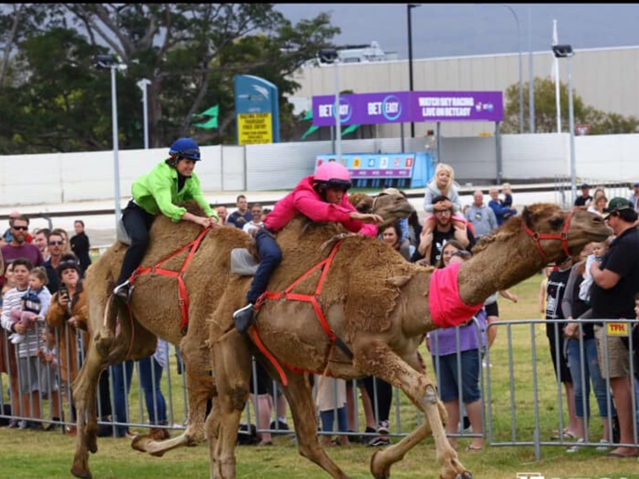 Camel Races at Gosford Showgrounds - Accommodation Cooktown